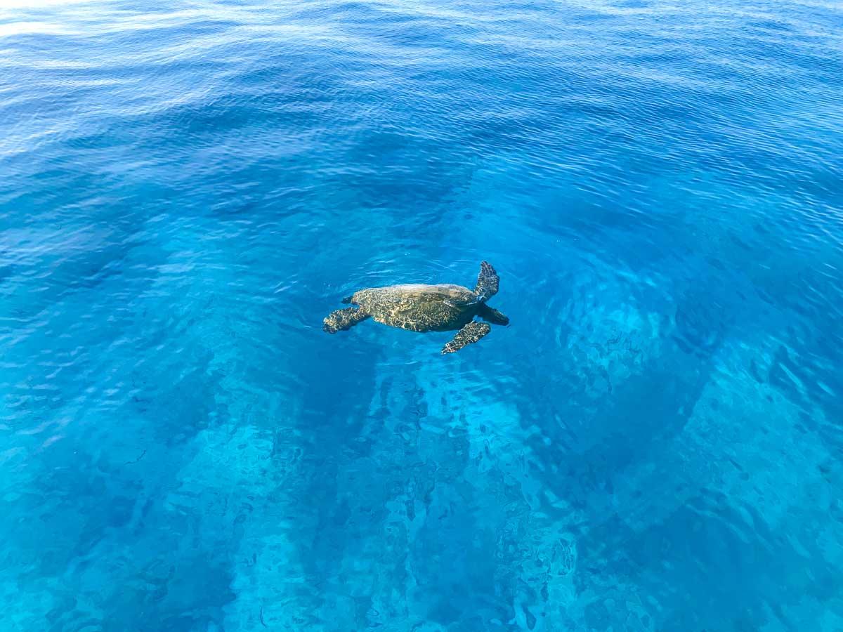 A sea turtle on a snorkeling tour on Oahu